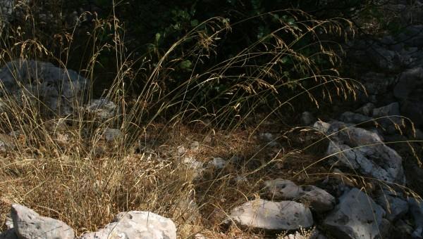 נשרן מכחיל Piptatherum blancheanum Boiss.