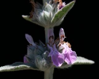 דורי הפרחים מרוחקים זה מזה. שיני הגביע זקופות בזמן ההבשלה, כל שן מסתיימת בחוד רך.