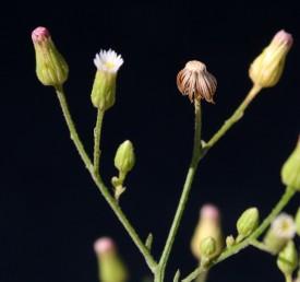 הקרקפות הצעירות בעלות פרחים לשוניים לבנים קצרים. המצעית החשופה מנוקדת בשרידי בסיס הזירעונים.