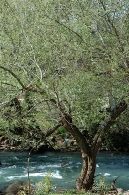 Salix alba L.