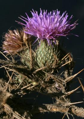 קוצן קיפח Cirsium phyllocephalum Boiss. & Blanche