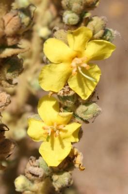 בוצין סיני Verbascum sinaiticum Benth.