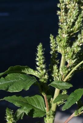 ירבוז ירוק-שיבולת Amaranthus cruentus L.