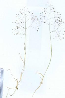 רפרף ארוך-עוקצים Milium pedicellare (Bornm.) Roshev. ex Melderis