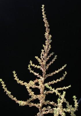 ירבוז לבן Amaranthus albus L.