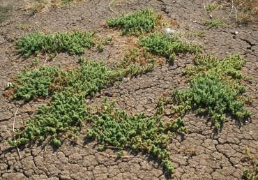 צמחים שרועים הדוקים לקרקע.