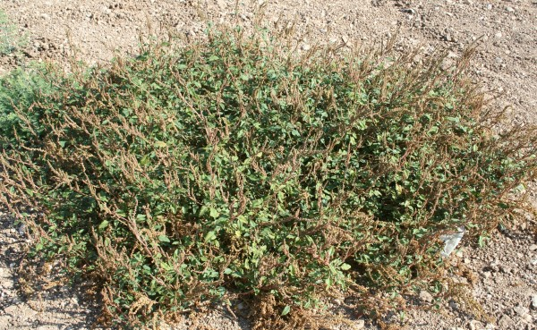 ירבוז מבריק Amaranthus blitum L.