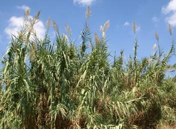 עשב רב-שנתי בעל קנים עבים, חלולים, ארוכים וזקופים. העלים נטויים כלפי מטה בזמן הפריחה. התפרחת מכבד גדול שענפיו זקופים.