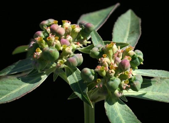 חלבלוב קעור Euphorbia heterophylla L.