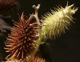 שני קוצי המקור שבראש הפרי גדולים ועבים בהרבה משאר קוצי הפרי. אורך מעטפת הפרי אחר ההבשלה 3.5-2.5 ס