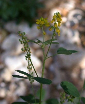 דבשה הדורה Melilotus elegans Salzm. ex Ser.