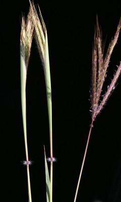 זקנונית הטבעות Dichanthium annulatum (Forssk.) Stapf