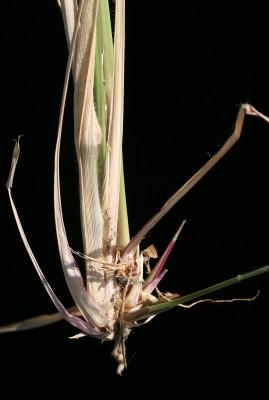 דוחן קיפח Panicum maximum Jacq.