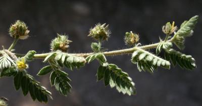 הפרודה בעלת 2 קוצים קצרים, ביניהם יש בליטות מעוגלות אך לא קוצים. צמחי ערוצים במדבר.