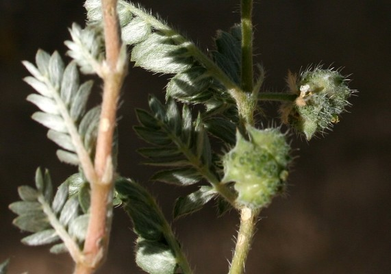 קוטב דו-זיזי Tribulus bimucronatus Viv.