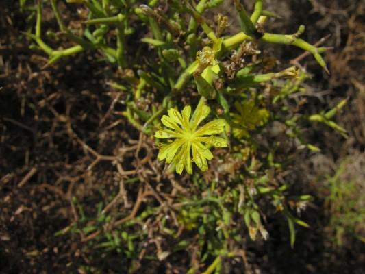 לוניאה קוצנית Launaea spinosa (Forssk.) Sch.Bip. ex Kuntze