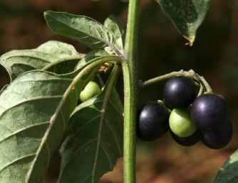 הגבעולים, העלים וגביעי הפרחים קרחים או בעלי שערות כפופות. הפירות הבשלים שחורים.