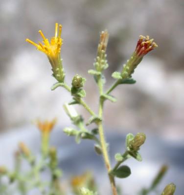 כתלה חריפה Chiliadenus iphionoides (Boiss. & Blanche) Brullo