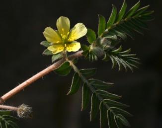 העלים מורכבים-מנוצים בעלי 6-4 זוגות עלעלים. הפרחים צהובי-כותרת. עשבים רעים בשדות ובגינות.