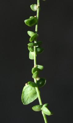 מלוח קטן-פרחים Atriplex micrantha C.A. Meyer