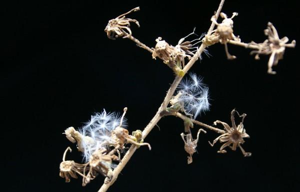 Lactuca aculeata Boiss.