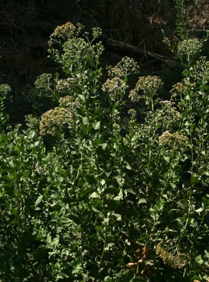 פלגית שיחנית Pluchea dioscoridis (L.) DC.