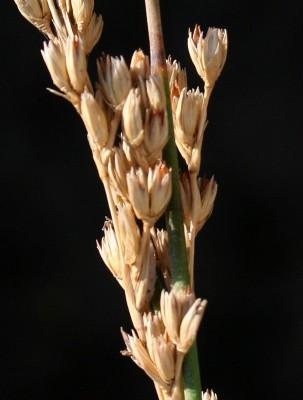 סמר ערבי Juncus rigidus Desf.