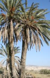 עץ דו-ביתי בעל גזע בלתי מסועף. תרבותי וכנראה גדל בר בקרבת מעיינות ומליחות במדבר.