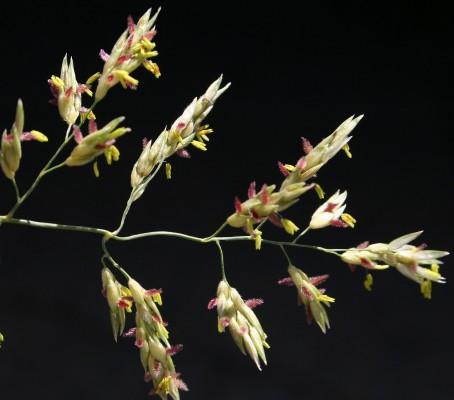 דורת ארם-צובא Sorghum halepense (L.) Pers.