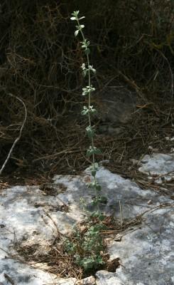 זוטה לבנה Micromeria fruticosa (L.) Druce