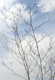 זווית ההסתעפות של ענפי התפרחת קרובה לזווית ישרה ובכך שונה מזו של שומר פשוט.