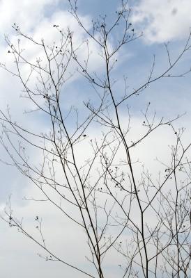 Peucedanum junceum (Boiss.) Mouterde