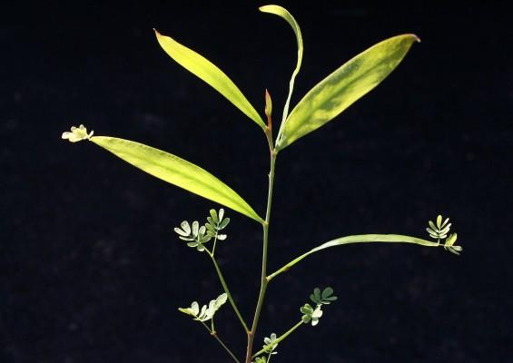 שיטה כחלחלה Acacia saligna (Labill.) Wendl.f.