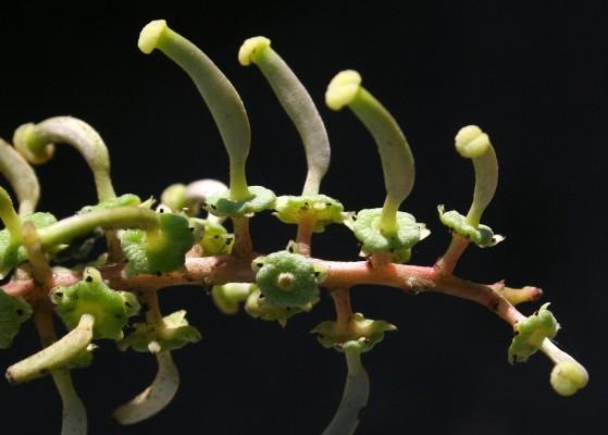 חרוב מצוי Ceratonia siliqua L.