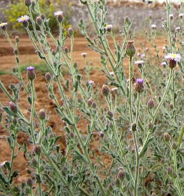 דוגון ירושלמי Lachnophyllum noaeanum Boiss.