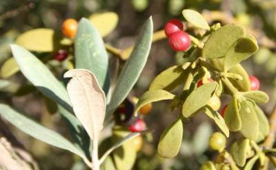 ענפי דבקון נושאים עלים ירוקים ופירות אדומים עם ענף נושא עלים אפורים של הפונדקאי זית אירופי.
