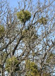 שמונה פרטי דבקון הזית שנטפלו אל ענפי שקד מצוי שהשליך עליו בחורף.