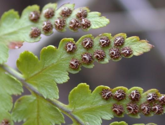 שרכייה אשונה Dryopteris pallida (Borry) C.Chr. ex Maire & Petitm.