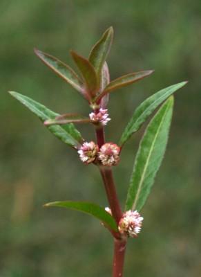 ביצן מכסיף Alternanthera sessilis (L.) DC.