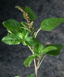 צמחים קרחים או מקריחים. העלה בעל שרטוט על פי רוב.