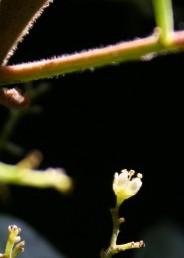הפרח בעל 5 עלי-כותרת, הזכרי בעל 10 אבקנים בולטים מבין עלי-הכותרת.
