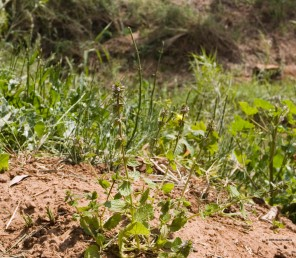 צמח חד-שנתי קטן