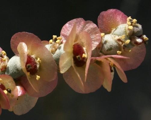 Anabasis articulata (Forssk.) Moq.