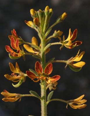 באשן תמים Cleome arabica L.