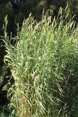 זיף-נוצה ארגמני Pennisetum purpureum Schumach.