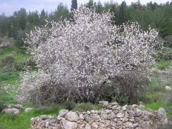 עץ בר או פליט תרבות בשטחי חורש ים-תיכוני.
