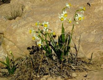 הפרחים בעלי עטרה צהובה ועלי-עטיף לבנים. עמוד התפרחת נושא 15-5 פרחים ריחניים.