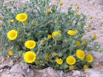 העלים גליים מאוד בעלי שיניים גסות או חתוכים. פרחי ההיקף ארוכים פי 1.5 מהמעטפת.