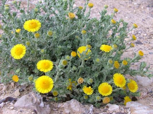 פרעושית גלונית Pulicaria incisa (Lam.) DC.