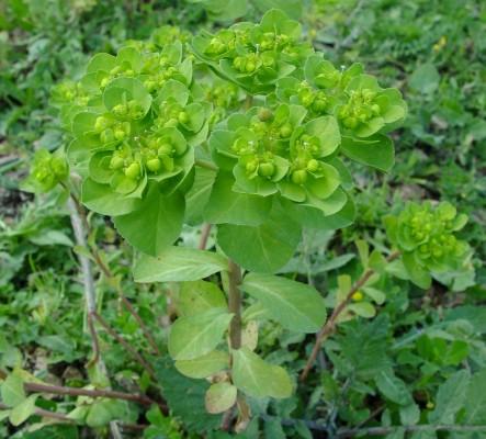 חלבלוב השמש Euphorbia helioscopia L.